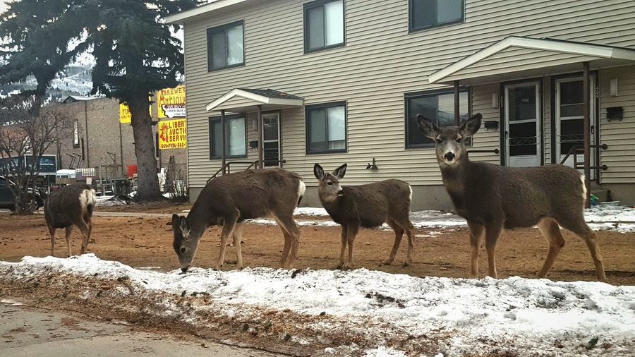 Animal Themes Building Exterior Mammal Outdoors Tree Close-up Check This Out January 2017 Milenamulskephotography Follow Me :) Nature Deer Deer In My Yard Deer Head Bambi Momma Deer And Baby City Wildlife Wildlife In The City Wild Animals Up Close Small Town USA Anaconda Montana 406