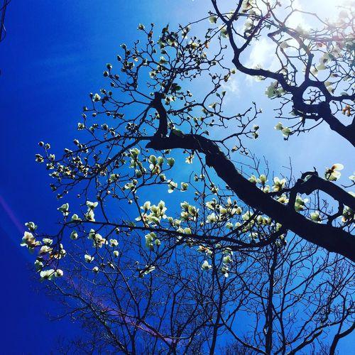 Walk 2016 March Spring 白木蓮 そぞろ歩き Flowers コンパスフラワー Magnolia