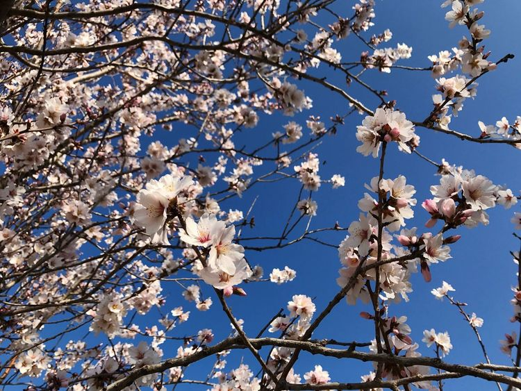 J ai le plus bel amandier du quartier...Song nBrassens ns Beauty In Nature Springtime Blossom Low Angle View White Color Sky Tree EyeEm Nature Lover EyeEm Best Edits EyEmNewHere Light Up Your Life Flower_Collection Provence Les Baux De Provence Clear Sky Serenity Calmness EyeEm Flower