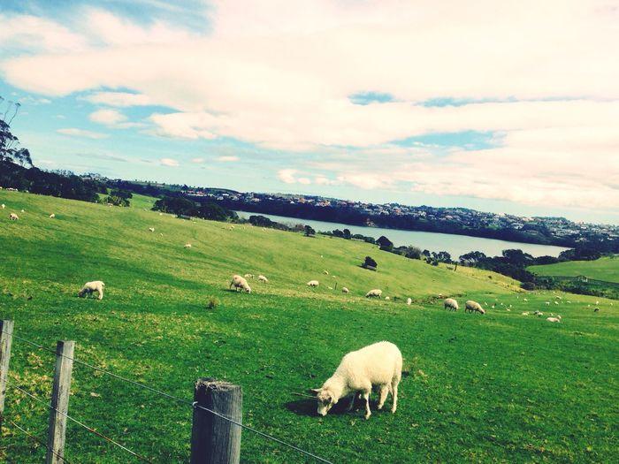 Heaps Sheeps