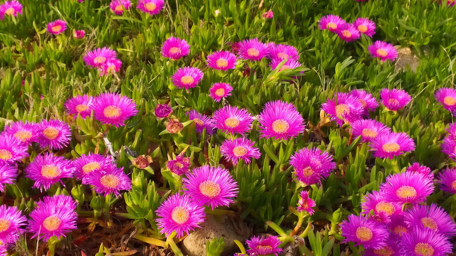 Carpobrotus edulis. Ice Plant. Abundance Backgrounds Beauty In Nature Blooming Botany EyeEm Nature Lover Field Flower Flower Head Fragility Freshness Full Frame Growth High Angle View In Bloom Nature Outdoors Petal Pink Color Plant Purple Succulent Succulent Plant Succulents