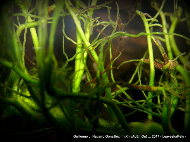 Anubias Baum Anubias Aquarium Plants Beauty In Nature Close-up Day Freshness Green Color Growth Nature No People Outdoors Plant Plantas De Acuario Raiz Raíces Xhivademon
