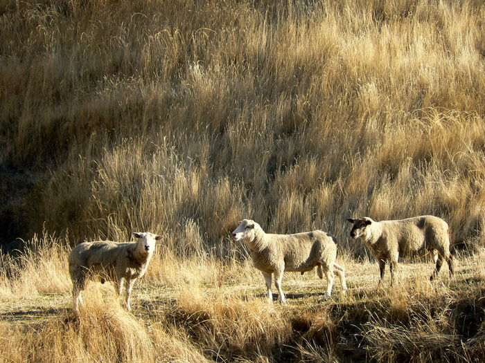 Bleached Grass Grazing Livestock New Zealand No People Rural Scene Sheep Sheep Country