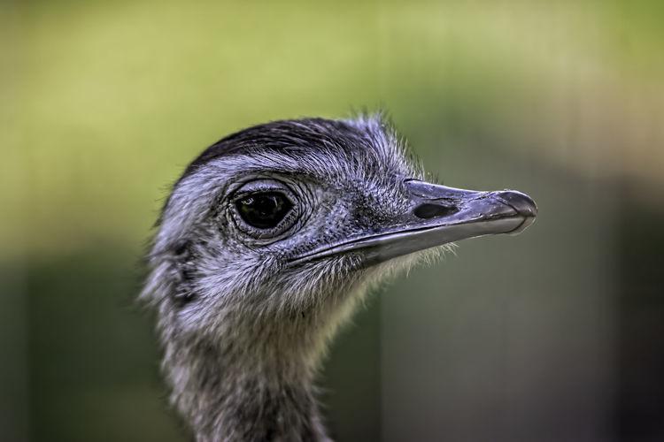 ostriches Bird