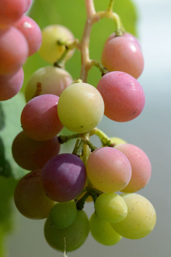 Close-up of grapes hanging in vineyard