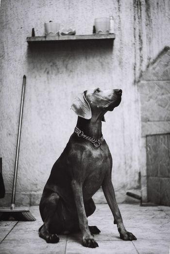 grey B@w EyeEmNewHere EyeEm eyeemphoto Grey EyeEm Best Shots Pets Pets Full Length Dog