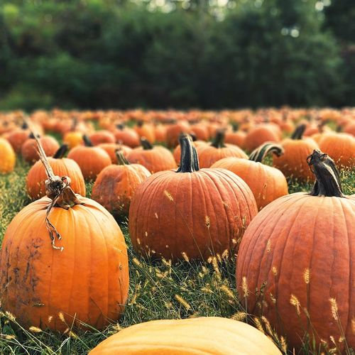 Pumpkin Autumn Agriculture Vegetable Halloween No People Field Nature Day Rural Scene Outdoors Close-up Freshness Food And Drink Food Squash - Vegetable Plant Sky