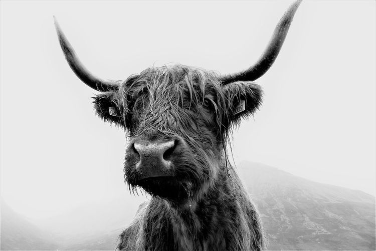 Close-up portrait of highland cattle against clear sky