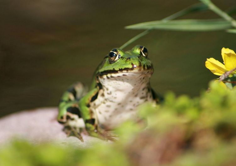 Close-Up Of Frog By Pond