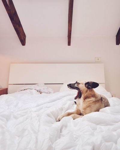 Dog yawning on bed at home