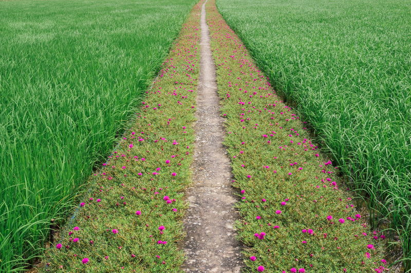 Road of portulaca grandiflora between the rice flied Beauty In Nature Between The Trees Day Field Flower Flower Line Freshness Grass Green Color Growth In The Midle Nature No People Outdoors Paddy Field Plant Portulaca Grandiflora Rice Field Road Of Flowers Vietnamese Flowers Vietnamese Portulaca Grandiflora