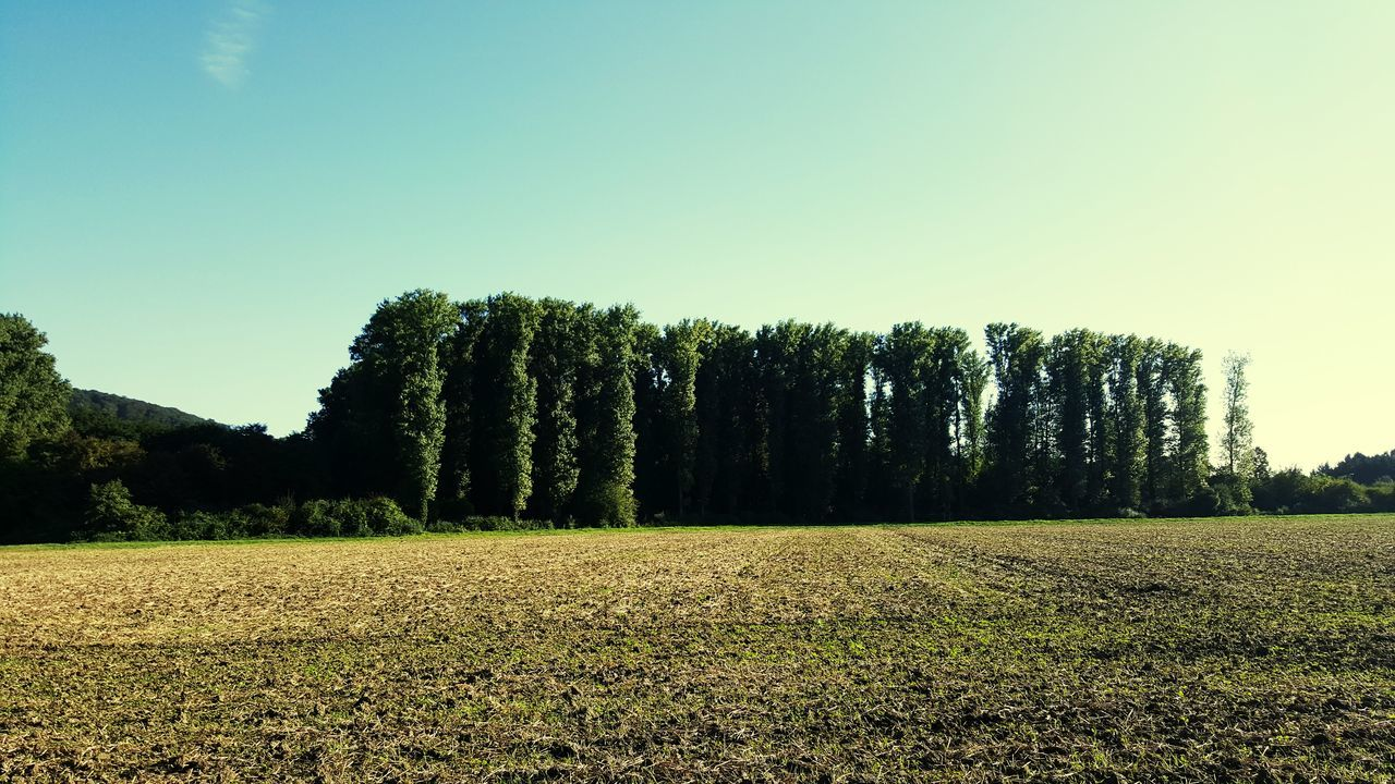 tree, field, nature, landscape, tranquility, agriculture, tranquil scene, clear sky, beauty in nature, no people, scenics, growth, day, outdoors, sky
