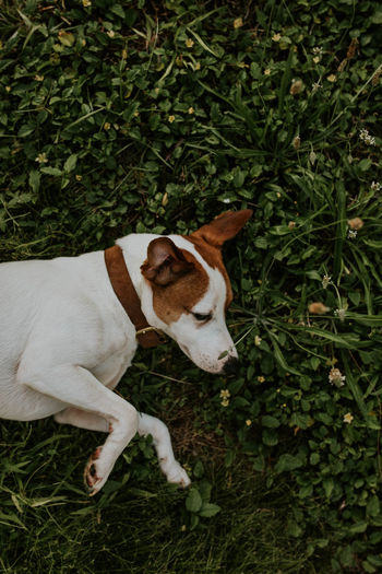 High angle view of dog relaxing on grass
