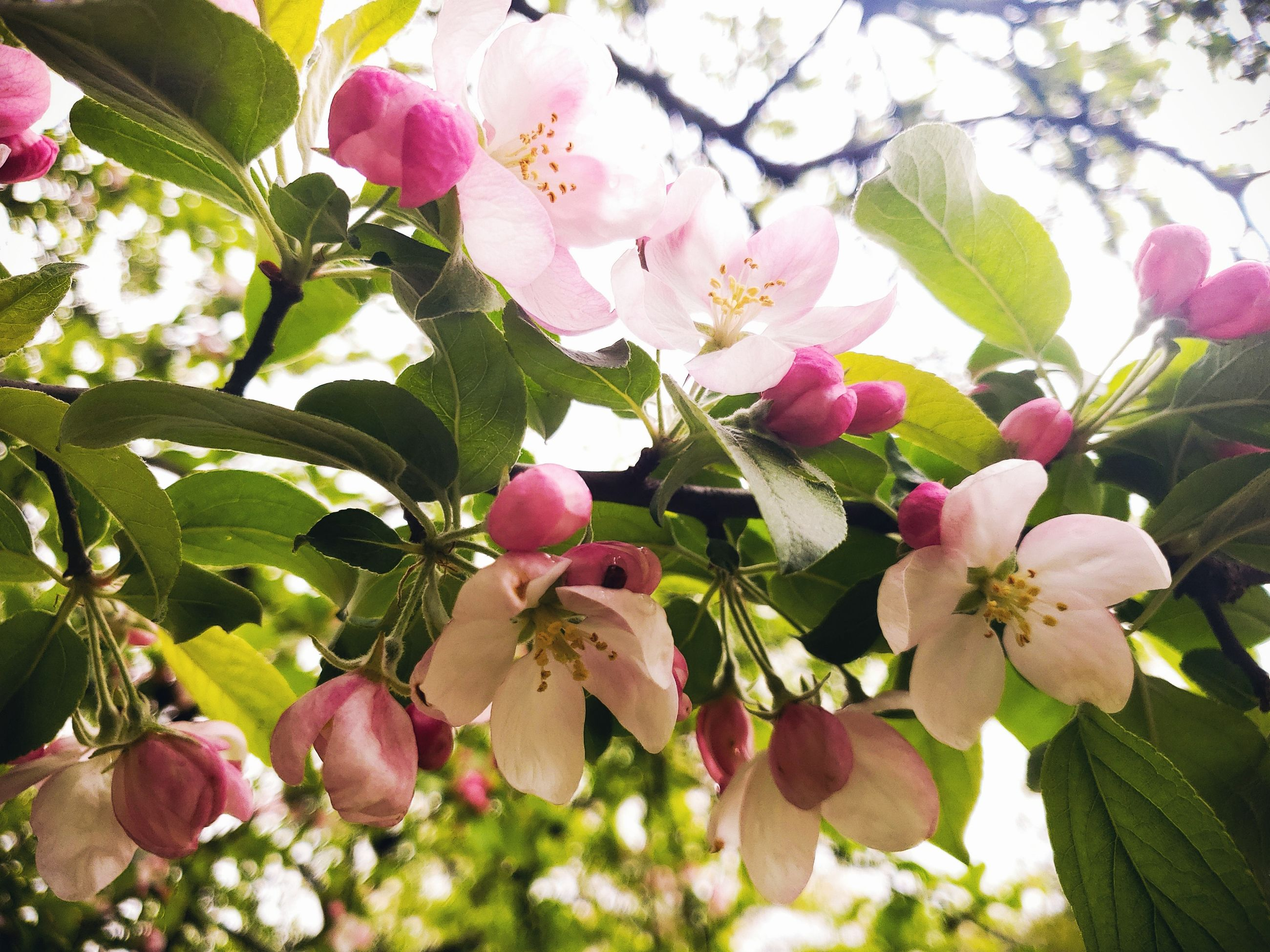 plant, flower, flowering plant, freshness, fragility, vulnerability, beauty in nature, growth, petal, pink color, flower head, nature, inflorescence, close-up, tree, plant part, day, leaf, no people, blossom, outdoors, pollen, springtime, cherry blossom