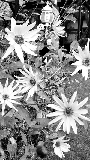 In Our Garden Beautiful Nature Flowers,Plants & Garden Flower Collection Learn & Shoot: Layering B&W Collection Black & White Black And White Photography Open Edit Edited White Album White White & Whiteness The White Collection White Collection Studies Of Whiteness Study Of Whiteness White Flowers