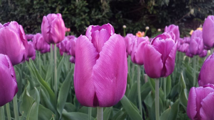 Pink Tulips Growing At Park