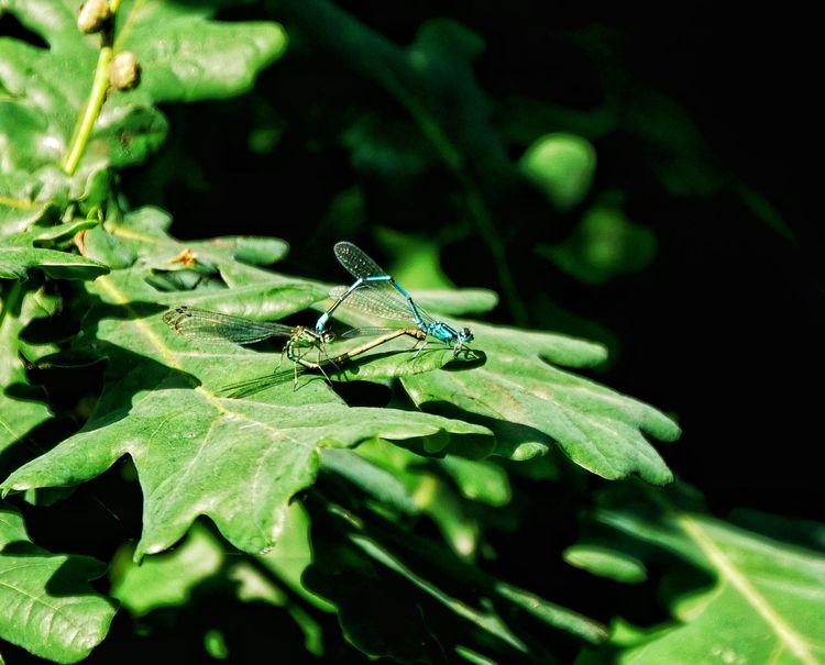 Leaf Insect Animal Themes Close-up Plant Green Color Dragonfly Mating