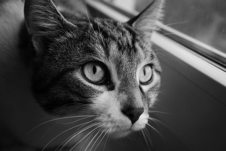 Cat on the Window Cat Cats Of EyeEm Catsofinstagram Monochrome monochrome photography MonochromePhotography MonochromePhotography Monochrom Nikon Nikonphotography Nikonphotographer NIKON D5300 Blackandwhite Black & White Blackandwhite Photography Mammal Pets Portrait Leopard Feline Domestic Cat Looking At Camera Close-up Whisker Animal Head  Cat At Home Animal Face Domestic Animals Adult Animal
