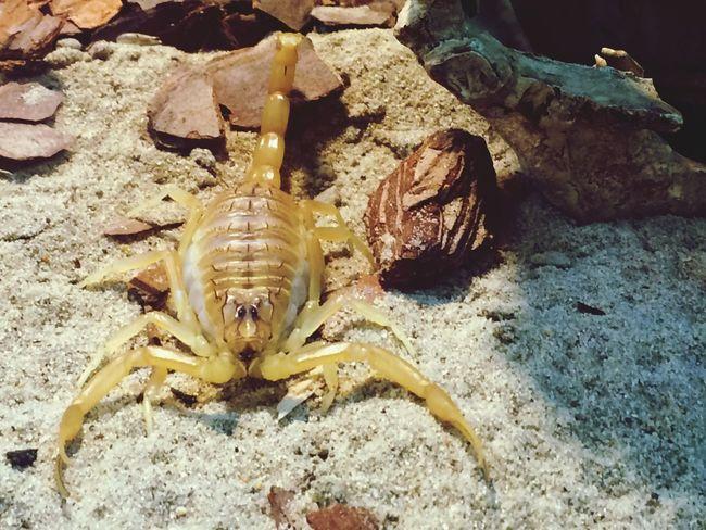 Заглянуть в глаза скорпиону😀 Animal Themes Crab No People пустыня скорпион Scorpion