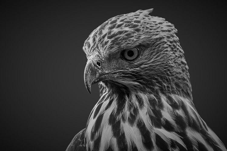 Eagle eye Bird Photography Eagle Nature Birds Eyes Hawk - Bird