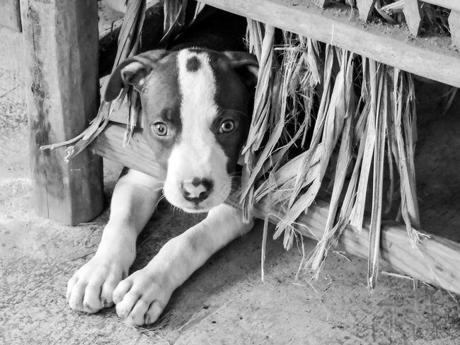 Animal Themes Close-up Cute Dog Dogs Domestic Animals Magazhu No People Peekaboo Pets Puppy Showcase August Yelapa
