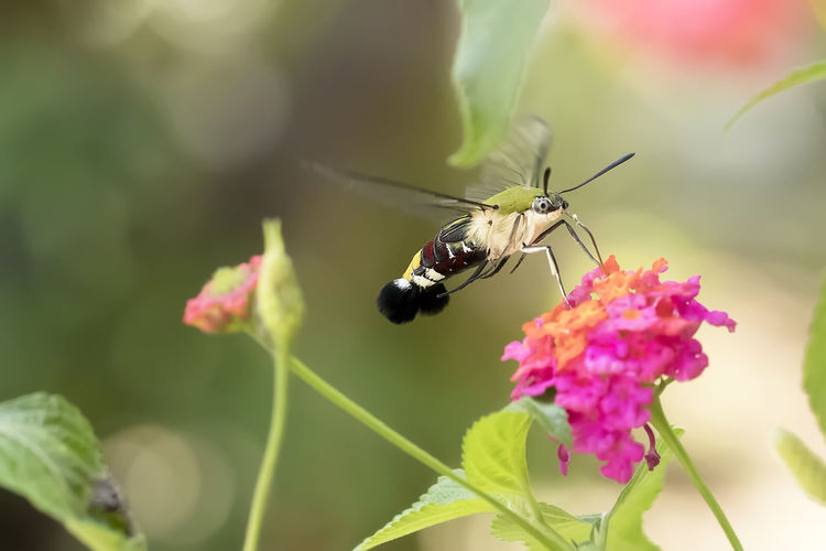 Close-up of butterfly hummingbird hawk-moth pollinating on flower