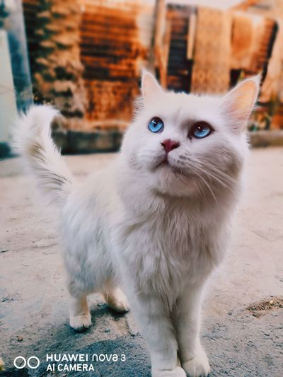 Persian Cat  Siamese Cat Stray Animal Carnivora Cat Ginger Cat Animal Hair Protruding Maine Coon Cat Teeth Big Cat Tabby Tiger Fluffy Domestic Animals Canine Tabby Cat Yellow Eyes Whisker Mammal