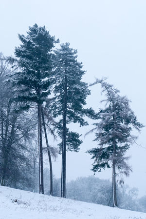 Cold wood Trees Snow Hill Slope Dusting Wood Pine Storm Winter Frozen