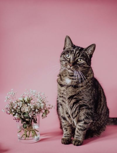 Cat sitting on table against pink background