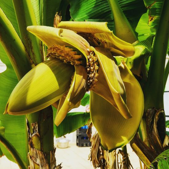 Banana tree 🍌 Yellow Close-up Growth Freshness Nature Green Color Agriculture Flower Day Outdoors Fragility Exoticism Beauty In Nature Vibrant Color No People Beauty In Nature Banana Bananatree Botany Green Flower Head Nature Green Color