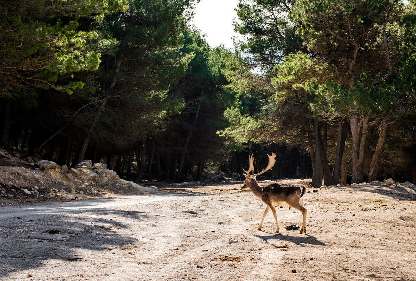 Deer outdoors. Safari park in Spain Aitana Alicante, Spain Animal Animal Themes Animals In The Wild Antelope Day Deer Forest Full Length Horned Mammal Nature No People One Animal Outdoors Safari Animals Safari Park SPAIN Standing Sunny Trees Wild Wildlife Zoo
