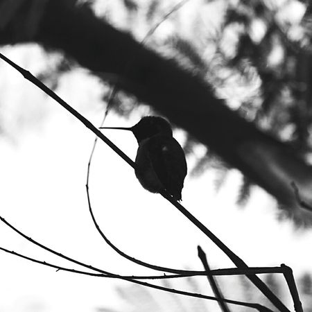 Hummingbird Nature Photography Birds Black And White First Eyeem Photo Canonphotography Canon 70d Amateurphotography First Eyeem Photo