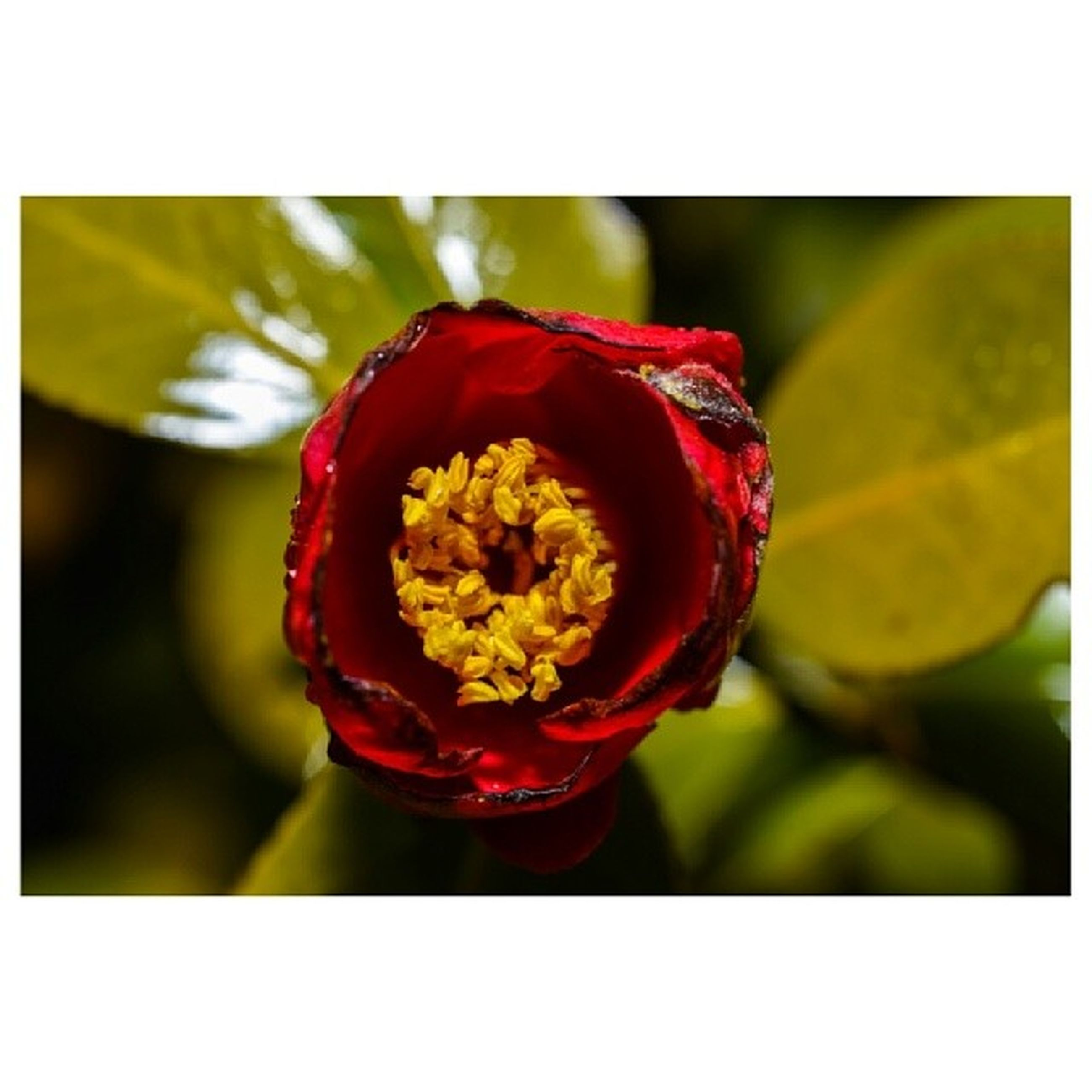 flower, petal, freshness, flower head, transfer print, fragility, close-up, beauty in nature, single flower, auto post production filter, growth, focus on foreground, blooming, red, nature, rose - flower, in bloom, blossom, plant, yellow