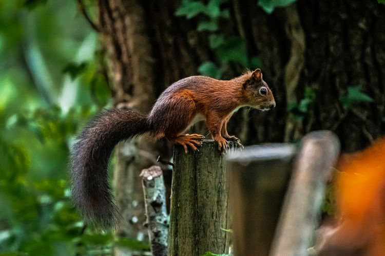 Squirrel on wooden post in forest