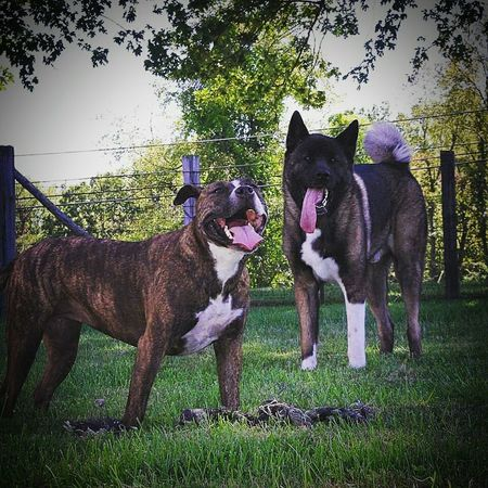 Staffordshire Terrier American Akita Best Friends Toy Rope Backyard Outdoors Grass Pets Mouth Open
