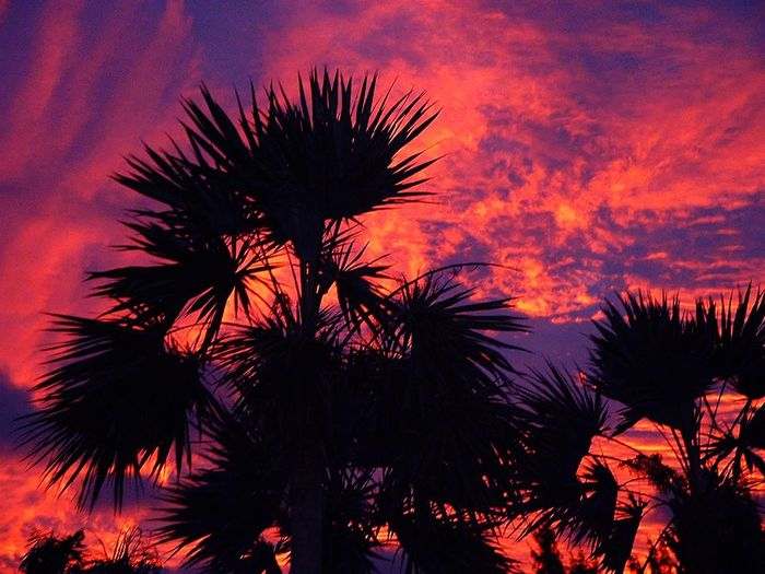Palm Tree Sunset Silhouette Beauty In Nature Palms On Fire Burning Sky Burning Sunset Orange Purple Dramatic Sky Tree Sky Low Angle View Heat - Temperature Outdoors No People Growth Scenics Night Nature Dramatic Sky Sunset Silhouettes Dramatic Sunset The Great Outdoors - 2017 EyeEm Awards
