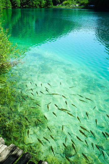 Fishes swimming under clear water in the lake, Croatia National Park Water Underwater Animal Wildlife Fish Animals In The Wild Animal Sea Swimming Vertebrate Animal Themes Sea Life Large Group Of Animals Group Of Animals Nature School Of Fish No People Beauty In Nature UnderSea Marine Outdoors Turquoise Colored Clean Purity Clear Water National Park