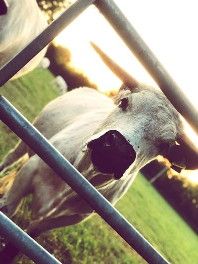 Cow Close-up No People Animal Themes EyeEmNewHere Day Nature