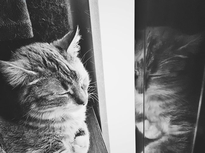 """Monochrome Photography """"Sleeping Beauty"""" EyeEm Best Shots Black And White Shootermag Mobilephotography AMPt_community VSCO Blackandwhite Photography Mobilephoto EyeEm Best Shots - Black + White EyeEm EyeEmBestPics EyeEm Gallery Eyeemphotography EyeEm Best Edits Pets Reflections Pet Photography  Cats 🐱"""