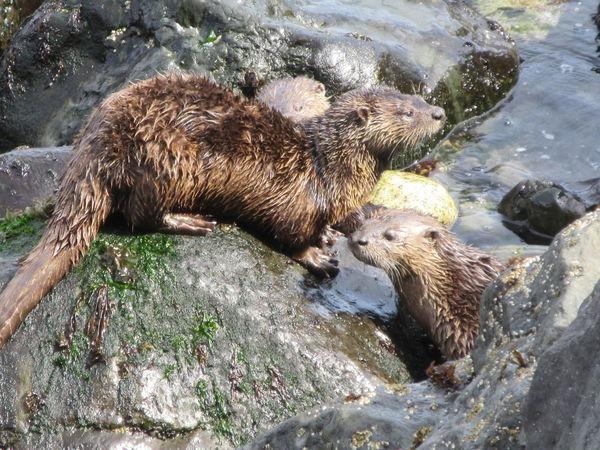 Otters sunning Otter Salish Sea Strait Of Juan De Fuca Animal Animal Wildlife Animals In The Wild Mammal Nature No People River Otter Salish Sea Beach