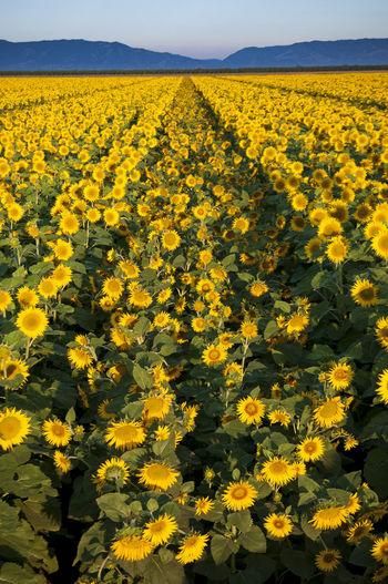 Close-up of sunflower field