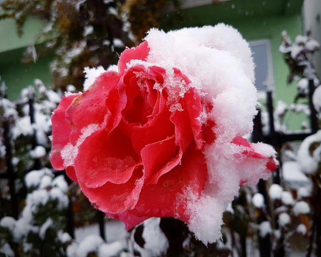 Snow Rose. Rosé