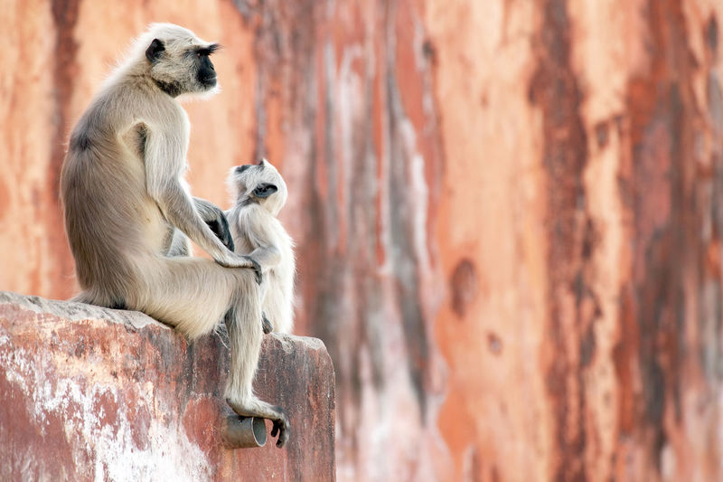 Langur family sitting on wall at jaigarh fort