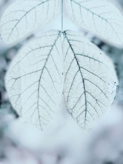cool leaves Mi A2 Tree Branch Snow Winter Leaf Snowflake Close-up Plant Natural Pattern Geometry Leaf Vein Tree Ring Spruce Tree
