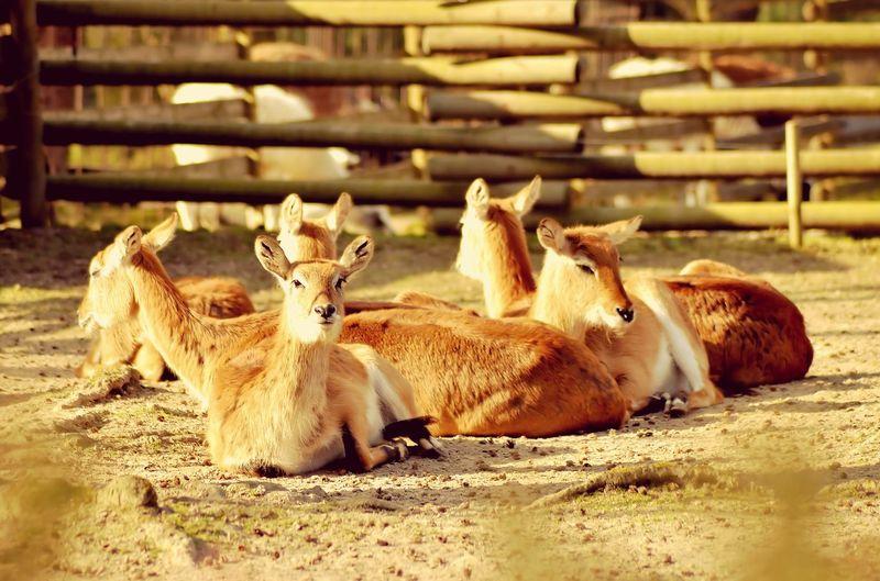 #41 Animal Themes Livestock Mammal Sand Domestic Animals No People Young Animal