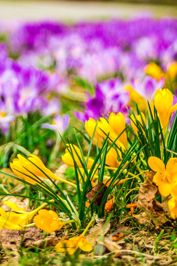 Close-up of yellow crocus flowers on field