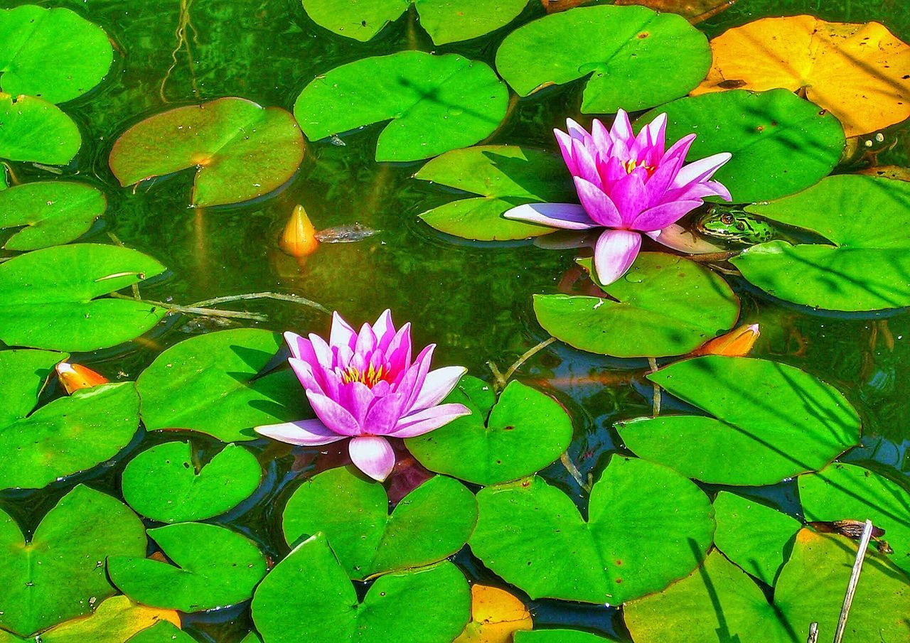 flower, leaf, water lily, floating on water, pond, nature, beauty in nature, growth, fragility, petal, lotus water lily, freshness, lily pad, water, plant, green color, lotus, flower head, outdoors, day, high angle view, no people, close-up, blooming, animal themes