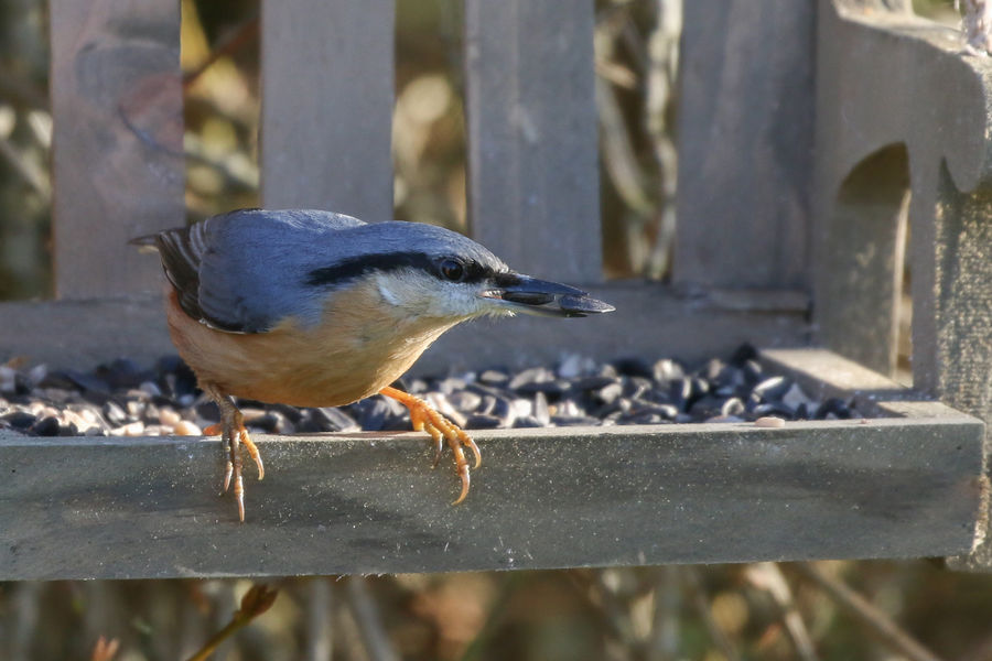 Nuthatch ready to leap Bird Animal Themes Animal Animal Wildlife Animals In The Wild One Animal Vertebrate Focus On Foreground Day Close-up Perching No People Wood - Material Boundary Barrier Railing Fence Outdoors Nature Metal