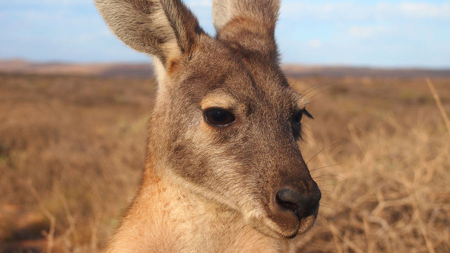 Close-up portrait of deer on field against sky
