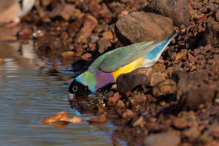 Gouldian finch drinking at waterhole Chloebia Gouldiae Gouldamadine Gouldian Finch Kimberley Australia Animal Themes Animal Wildlife Animals In The Wild Beauty In Nature Bird Day Multi Colored Nature No People One Animal Outdoors Water